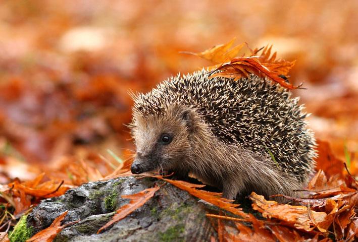 hedgehog_autumn